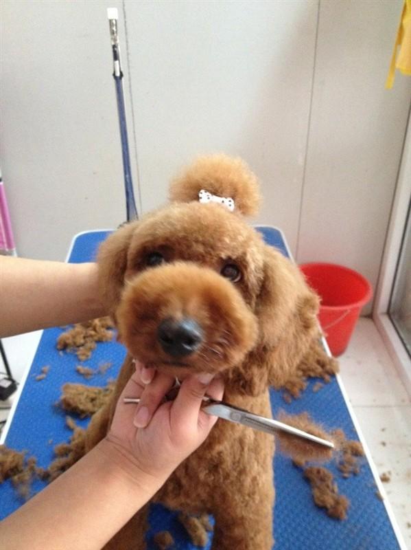 给泰迪狗修毛视频_泰迪犬怎么修毛视频教程 泰迪犬修毛注意事项_小可爱宠物网