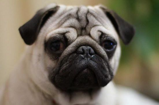 巴哥犬多少钱一只 纯种巴哥犬价格详情