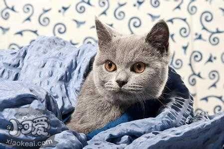 科拉特猫怎样养 科拉特猫养殖办法插图