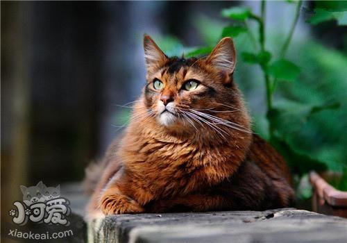 索马里猫能吃辣吗 辣会影响索马里猫味蕾插图