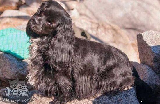 How to raise the British card dog breeding methodillustration