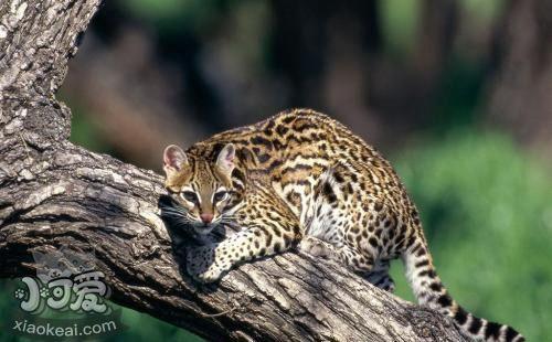 豹猫怎样养 豹猫养殖技巧插图(1)