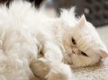 波斯猫梳毛技巧视频