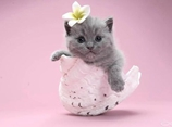 英国短毛猫美容视频