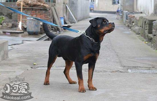 罗威纳犬护主怎么训练 罗威纳犬护主训练技巧-轻博客