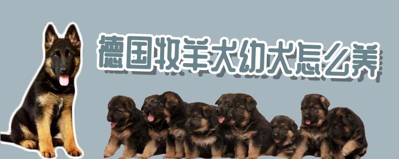 德国牧羊犬幼犬怎样养插图