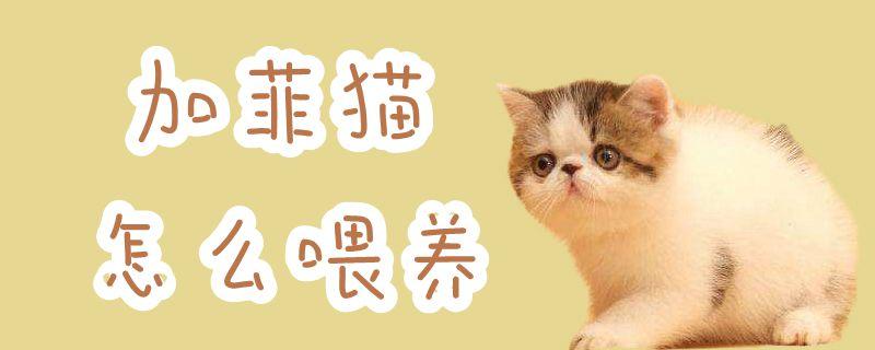 加菲猫怎样喂食插图