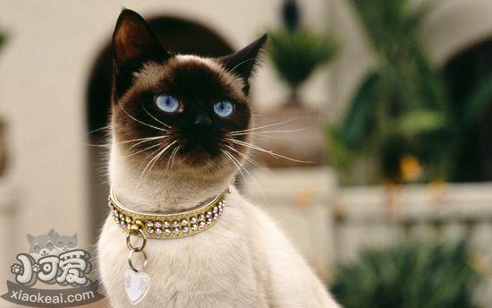 暹罗猫美容有什么技巧 暹罗猫美容技巧插图(3)