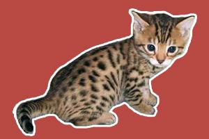 孟加拉豹猫吃什么
