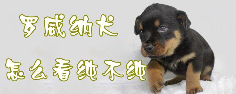 罗威纳犬怎么看纯不纯