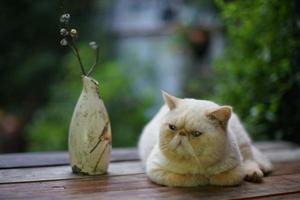 怎么判断加菲猫发情