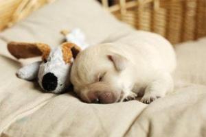 怎么训练狗自己睡觉
