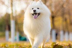 怎么样训练萨摩耶犬听话的立、坐、卧