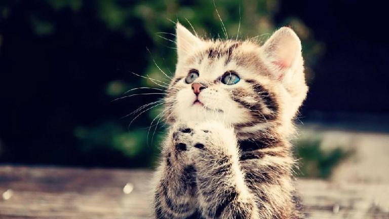 公猫发情症状 如何确定公猫发情