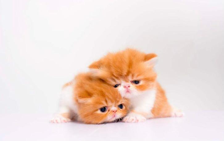 母猫发情周期 想给母猫配种繁育一定要了解