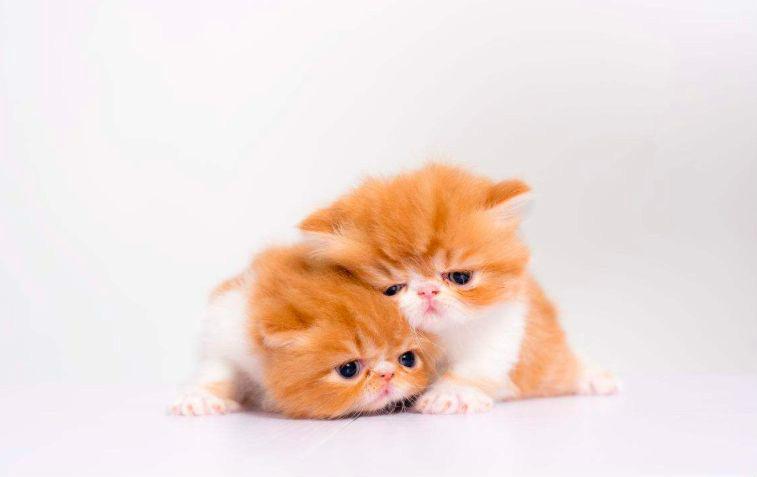 猫发情可以做绝育吗 会对身体造成伤害吗