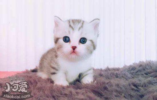 矮脚猫为什么不能养 矮脚猫是什么神奇品种-轻博客