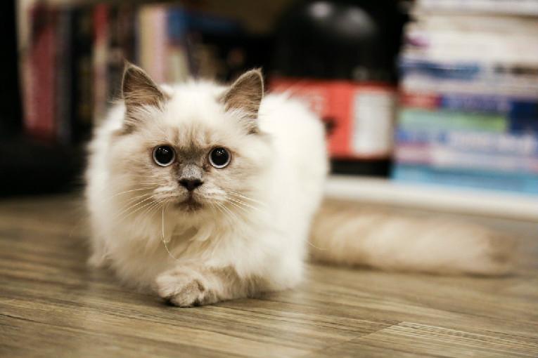 布偶猫配色繁殖表
