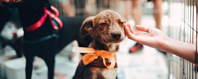 狗狗感冒患犬窝咳症状 患犬窝咳一定会死吗