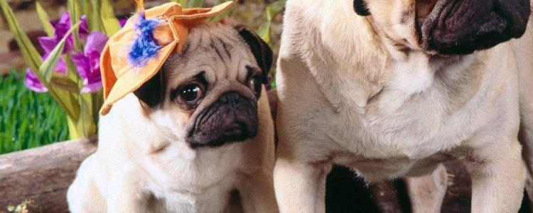 狗吃卵磷脂的功效与作用 狗吃卵磷脂的好处