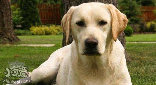拉布拉多的五种性格类型 你家狗狗属于哪一种呢