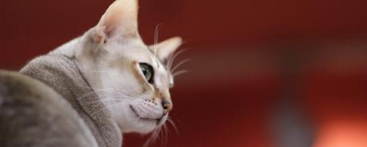 猫绝育前后注意事项 猫绝育对于猫咪的的改变有多大?