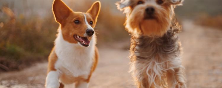 狗狗注射疫苗注意事项 狗狗注射疫苗有讲究