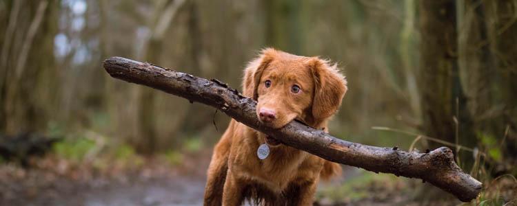 狗狗绝育前注意事项 绝育手术前你需要做好准备