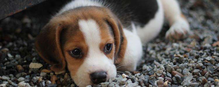 狗胰腺炎症状与治疗方案 狗胰腺炎该如何治疗