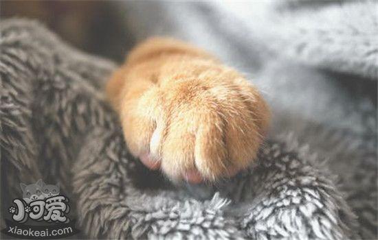 猫咪脚毛怎样修剪 猫咪多久需求剪一次脚毛插图