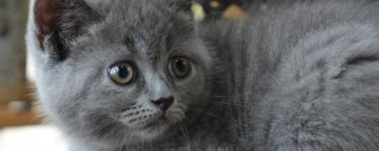 英国短毛猫寿命多长 有方法延长猫的寿命吗?