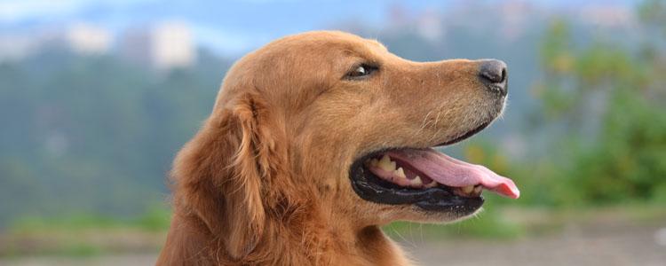 狗狗皮肤发红是什么原因 狗狗身上出现红斑