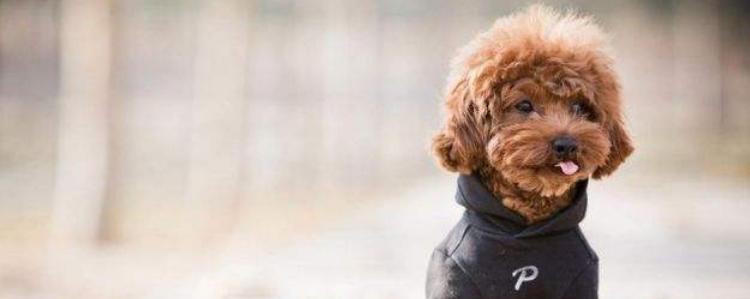 泰迪交配的最佳时间 狗狗交配也有讲究哦