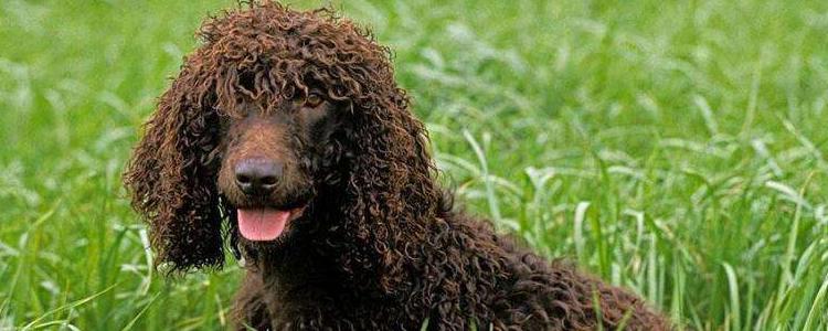 水猎犬吃什么样的狗粮 怎么挑选美国水猎犬的狗粮