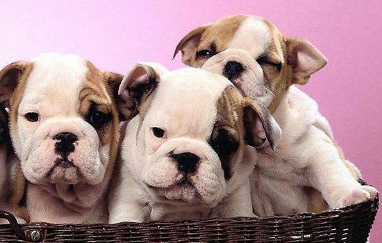幼犬能喝牛奶吗 别让牛奶害了狗狗-轻博客