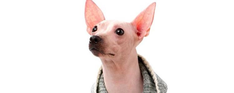 狗狗穿衣服好吗 三大类宠物狗不适合穿衣服