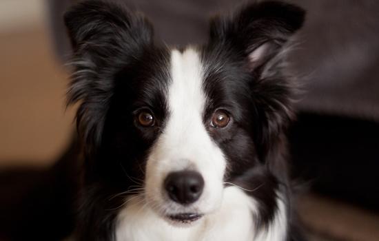 蝴蝶犬怎样养 特别时期蝴蝶犬喂食攻略插图(1)