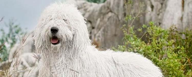爱尔兰水猎犬的喂养 狗狗饲养指南