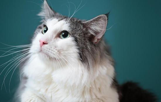 猫身体遽然发出臭味 猫身体有臭味你找到发出地了吗?插图(1)