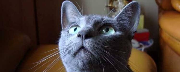 阿莫西林能治猫口炎吗 想要治好猫口炎光是药是没用的!