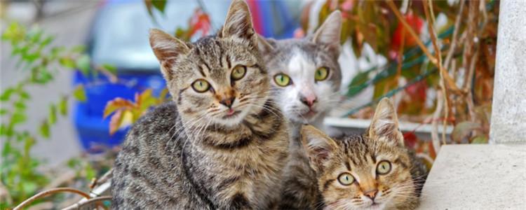 猫体内有炎症怎么办 要如何预防猫咪有炎症等疾病