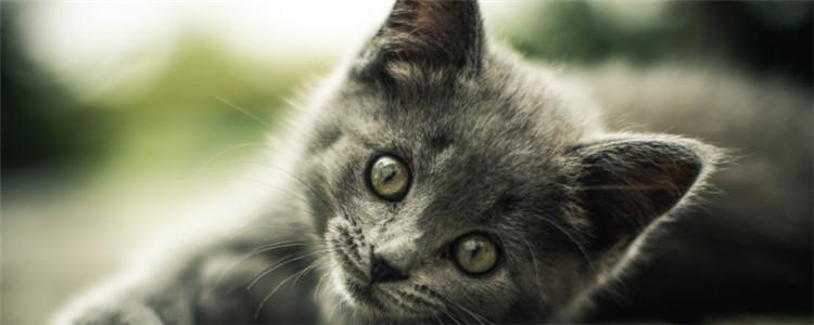 猫免疫失败的原因 接种疫苗的成功率没有百分之百