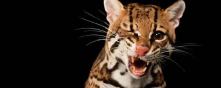 豹猫怎么养才听话 想要饲养漂亮的豹猫你得做好准备才行!