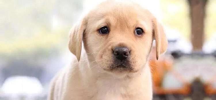 狗狗鞭虫症状 狗狗鞭虫怎么治疗