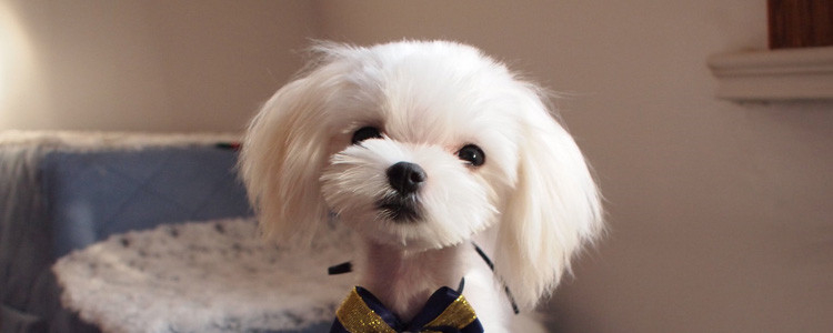 狗狗心丝虫症状 犬心丝虫能治好吗?
