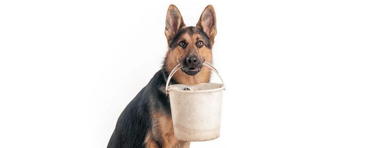 犬巴贝斯虫病症状 患犬巴贝斯虫病的狗狗要及时治疗啊!