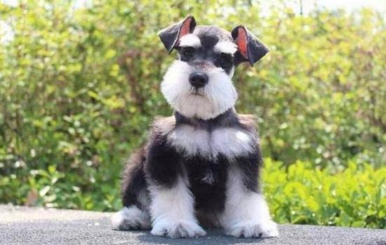 狗狗眼睛红肿是有哪些原因引起 这次就知道狗狗眼睛红原因插图(1)