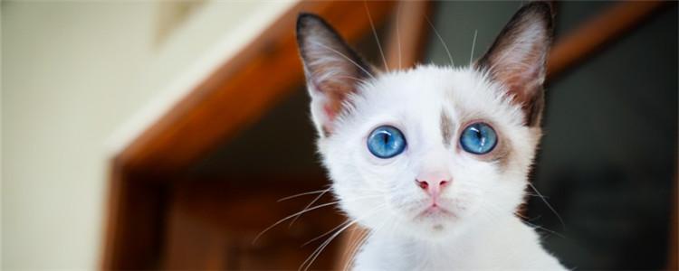 猫叫不出声音怎么回事 猫咪是不是突然变哑巴了
