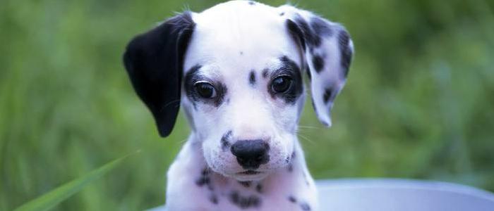狗狗得了肿瘤怎么办 如何治疗?