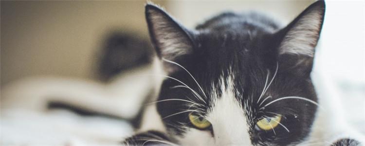 猫狂犬病的六大症状表现 猫咪出现怪异的行为要注意